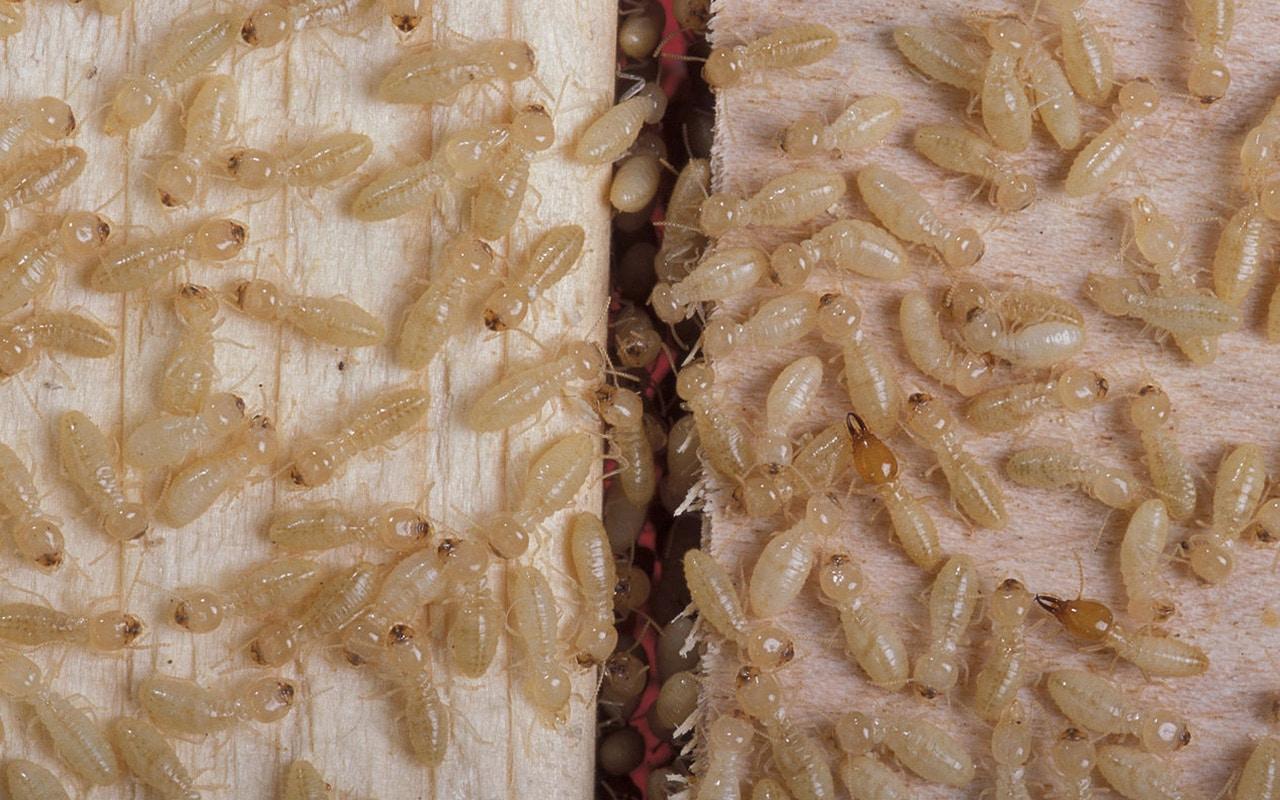 traitement du bois, termites et insectes xylophages